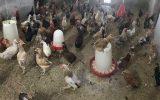 شیوع آنفلوانزای مرغی در ژاپن؛ معدوم سازی ۱۳۰ هزار قطعه مرغ