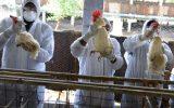 سرایت نوع جدید آنفلوانزای مرغی به انسان در چین